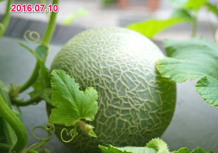 wc2016-melon-fruit-grow32