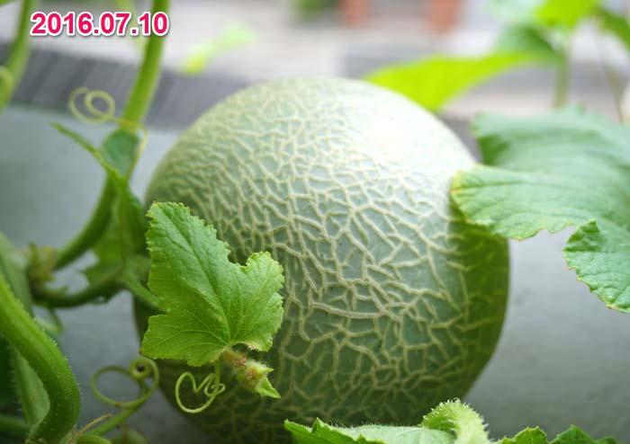 wc2016-melon-fruit-grow32