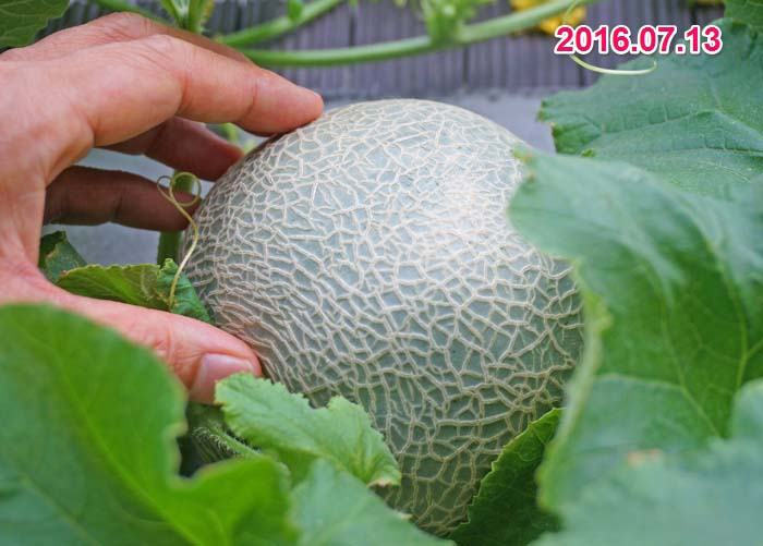 wc2016-melon-fruit-grow38