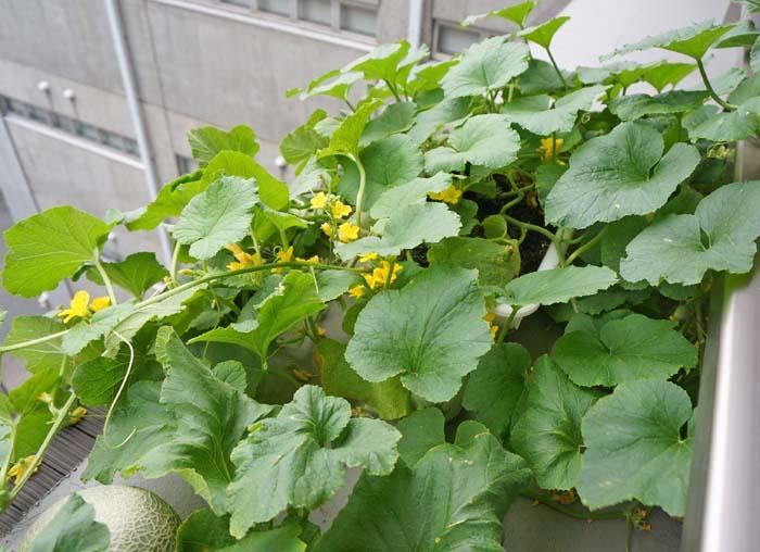 wc2016-melon-fruit-grow39