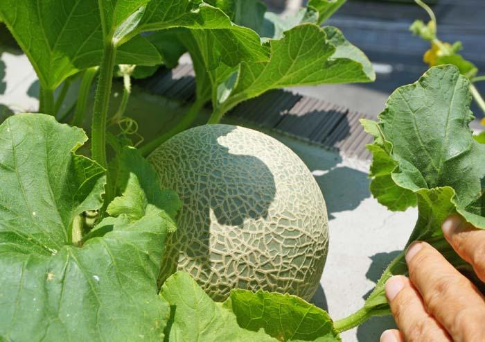 wc2016-melon-fruit-grow41