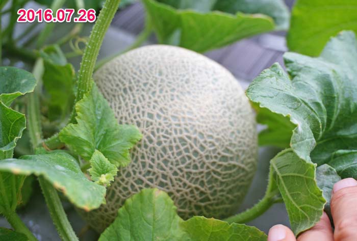 wc2016-melon-fruit-grow46