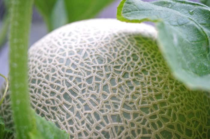 wc2016-melon-fruit-grow47