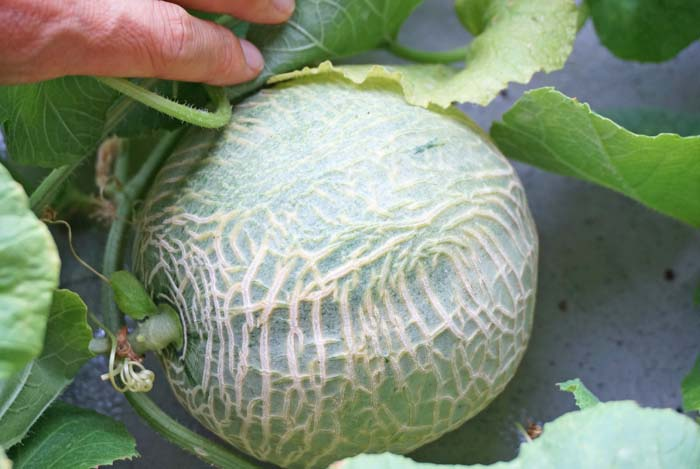 wc2016-melon-fruit-grow48