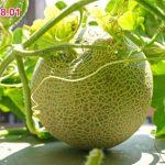 ワクワクもハラハラもいっぱい!水耕栽培でマスクメロンの実が大きくなってきたよ!