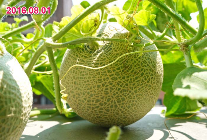 wc2016-melon-fruit-grow54