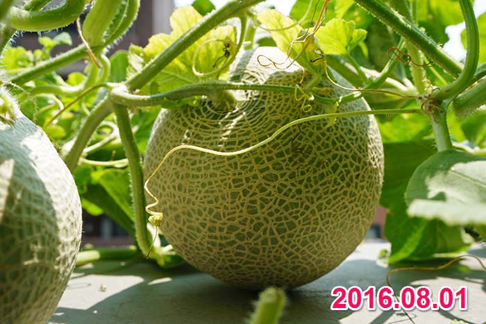 wc2016sp-melon-taste01a