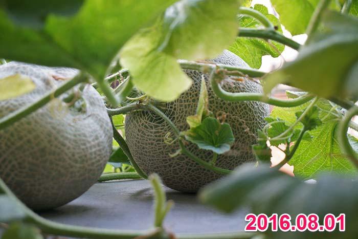 wc2016sp-melon-taste05a