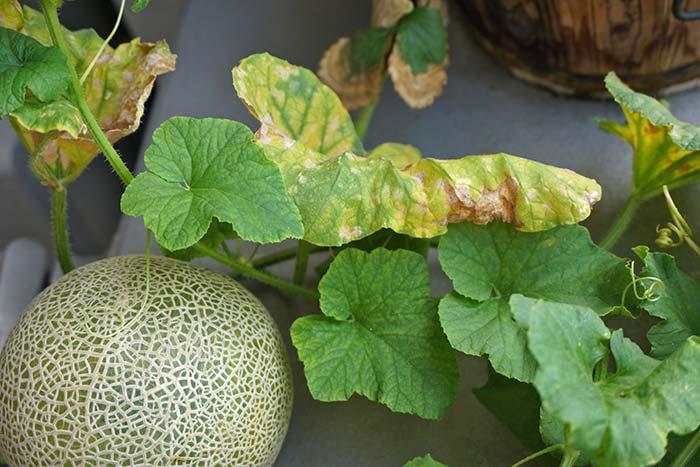 wc2016sp-melon-taste06