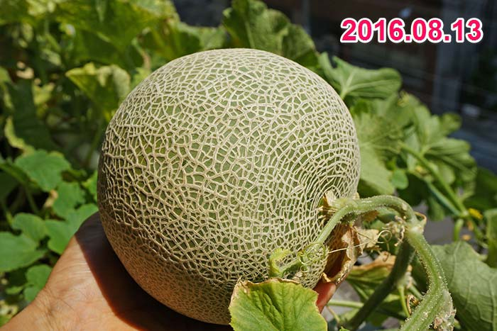 wc2016sp-melon-taste12a