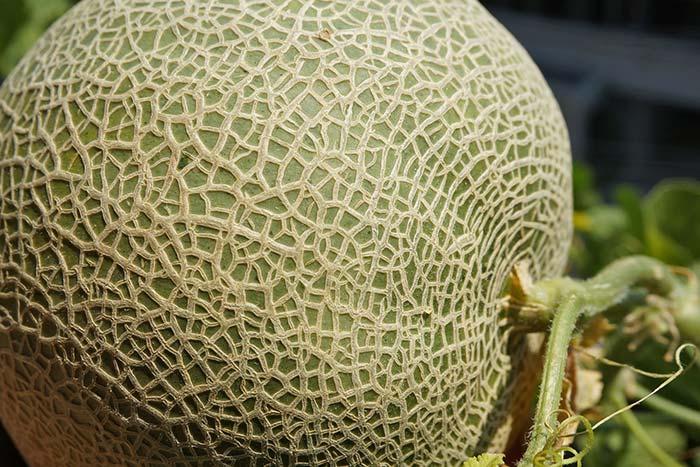 wc2016sp-melon-taste13