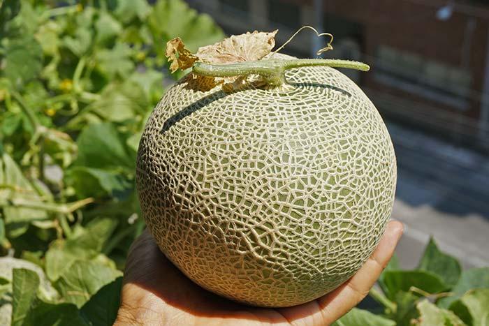 wc2016sp-melon-taste16