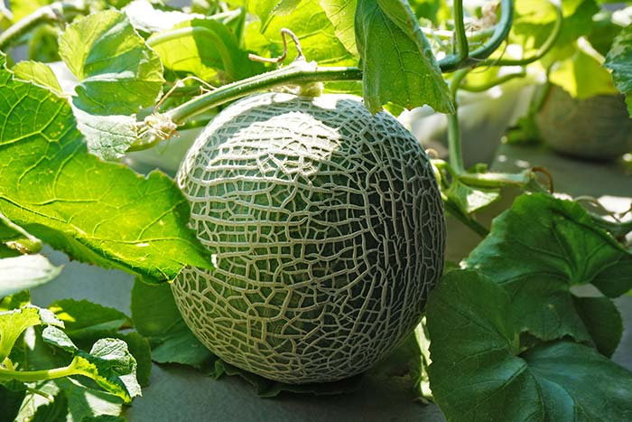 家庭菜園の水耕栽培で立派なメロンが収穫できたよ♪追熟や食べごろのポイントも紹介!