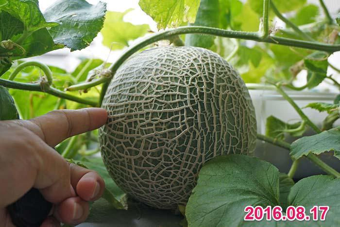 wc2016sp-melon-taste22a