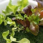 スポンジ培地だけで野菜が水耕栽培できるのか試してみた!