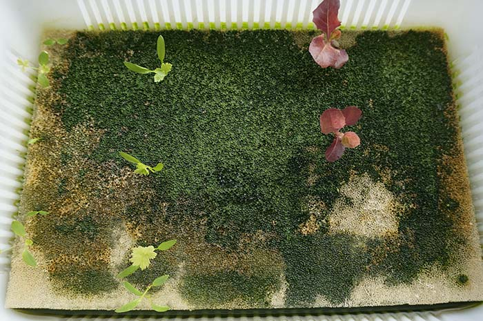 wc2016au-algae-sponge82