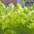 ベランダ菜園で簡単に野菜がつくれちゃうキット不要の水耕栽培の方法を紹介!