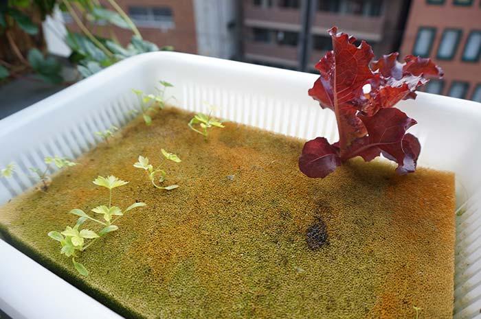 wc2016au-algae-sponge112