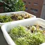 野菜の水耕栽培のお片付け!土を使わないのでとっても簡単!