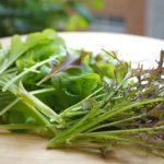 からし菜「コーラルリーフフェザー」を水耕栽培で種から育ててみた!