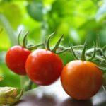 リコピンにβカロテン豊富なトマトが大豊作!家庭菜園で簡単に栽培できたよ