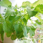 大葉をミニプランターでベランダ水耕栽培したら薬味利用にピッタリ!