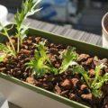 スポンジ水耕栽培で野菜を簡単でおしゃれに栽培する方法を試してみた!