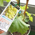 瀬戸ジャイアンツのベランダ鉢植え栽培に挑戦!準備&苗の植え付け編