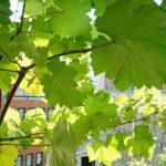 ベランダにブドウ棚を設置!瀬戸ジャイアンツ栽培体験記