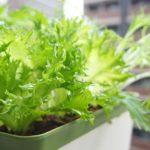 土を使わない簡単スポンジ水耕栽培で綺麗でおいしい野菜が収穫できました♪