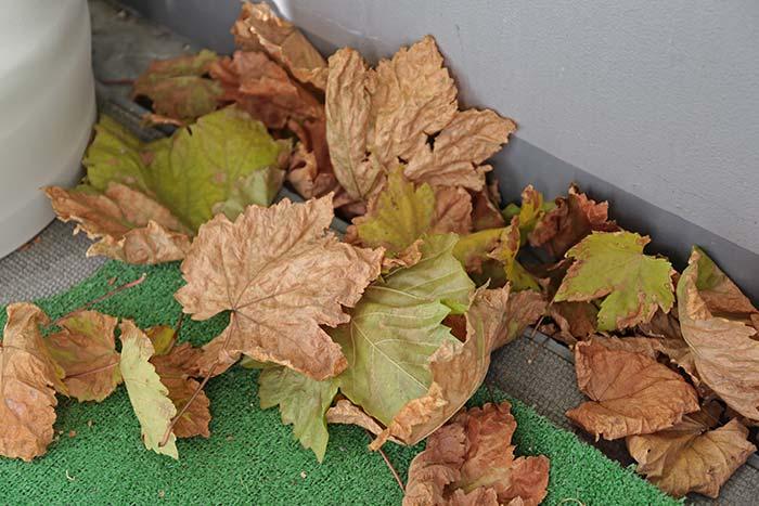 瀬戸ジャイアンツの葉っぱや枝が枯れる!?ブドウが落葉する時期とは