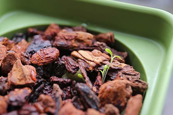 発芽したレタスの種