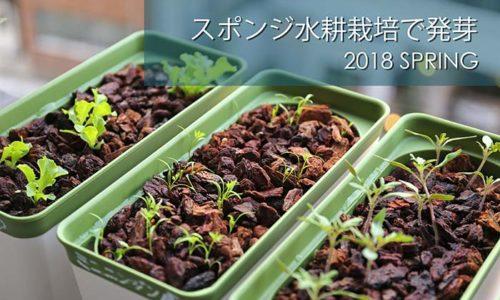 スポンジ水耕栽培で発芽