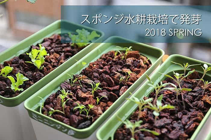 土を使わないベランダ菜園!簡単スポンジ水耕栽培でニンジンが発芽した!