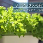 超簡単で楽しいレタスの育て方!スポンジ水耕栽培の方法や道具を徹底解説!