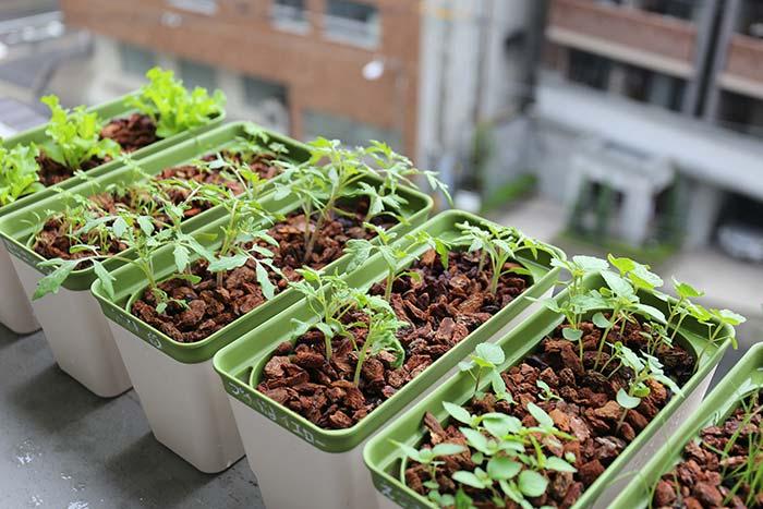 スポンジ水耕栽培の苗