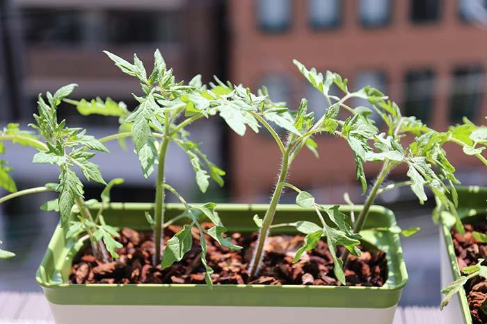 太陽の光を浴びるトマトの苗