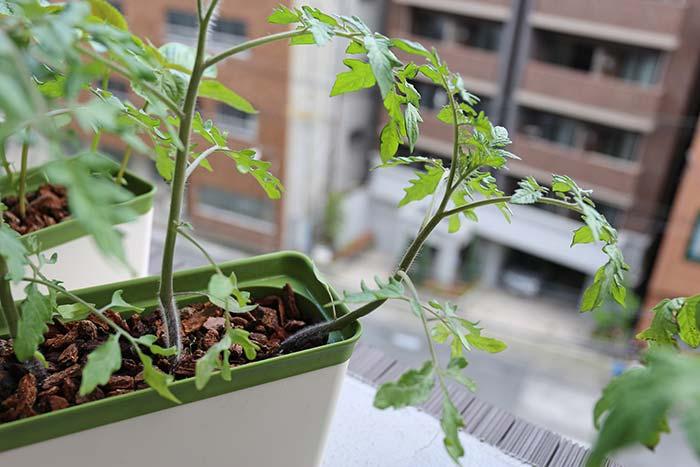 横に伸びていくトマト