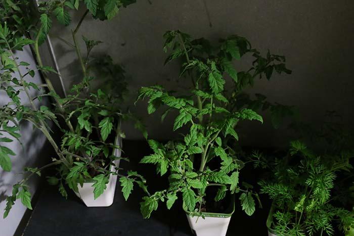強風から避難中のトマト