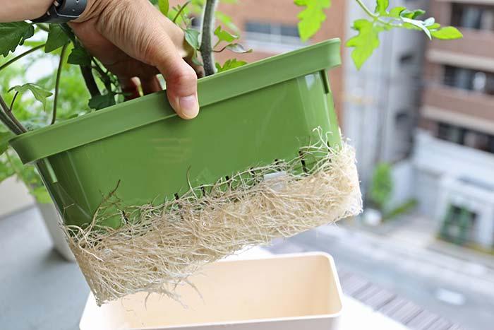 張り巡らされたトマトの根