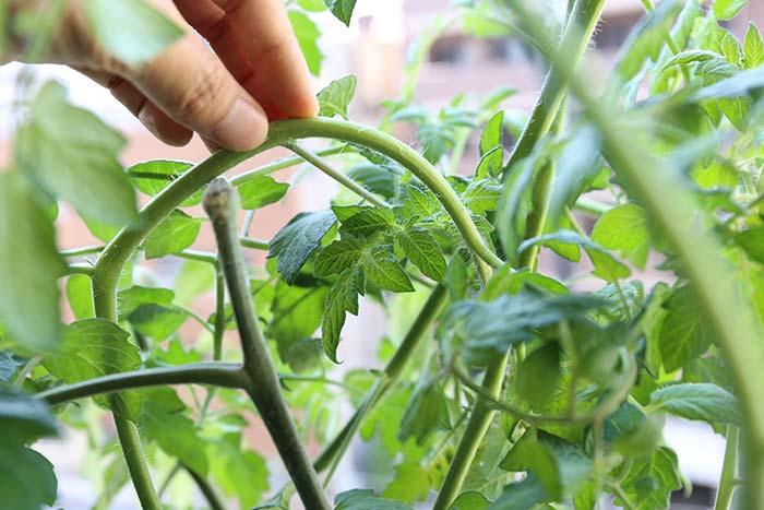 トマトの茎を曲げる様子