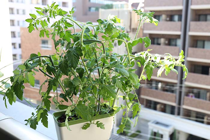 茎を曲げてコンパクトに仕立てたトマトの株