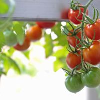 鈴なりになったトマト