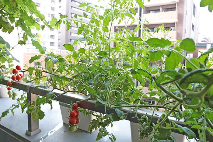 ジャングルみたいに茂ったトマト
