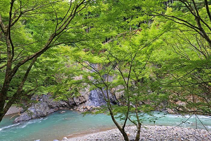 京都の清流と新緑モミジ