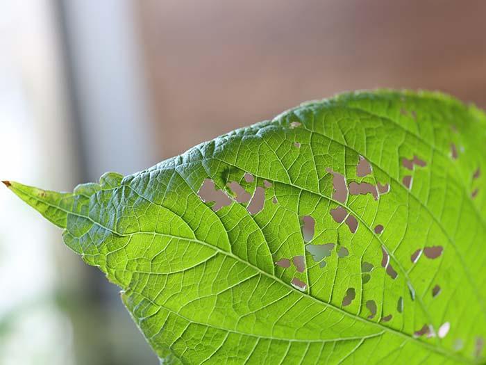 大葉の穴の裏に隠れてる虫