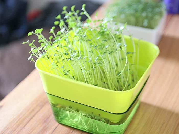 栽培して分かったブロッコリースプラウトの育て方や容器のポイント!
