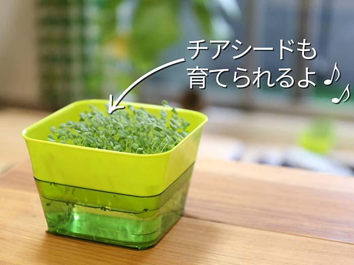同じ栽培容器で育てたチアシードのスプラウト