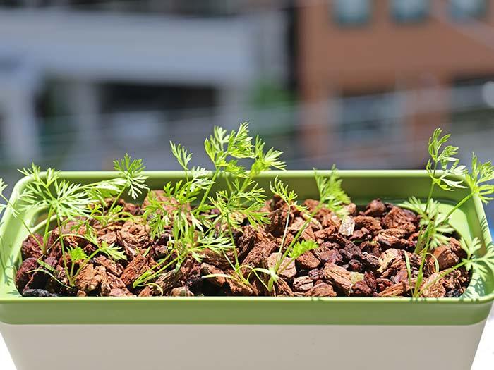 朝日を浴びて育つミニニンジンの苗