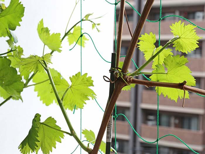 次々と新芽がでて伸びていくブドウ